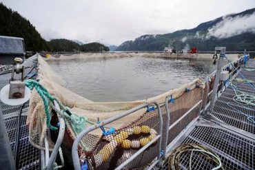 Atlantic salmon raised at a Glacier Falls fish farm on the BC coast