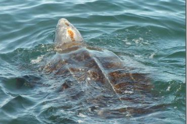 A leatherback sea turtle travelling on the surface