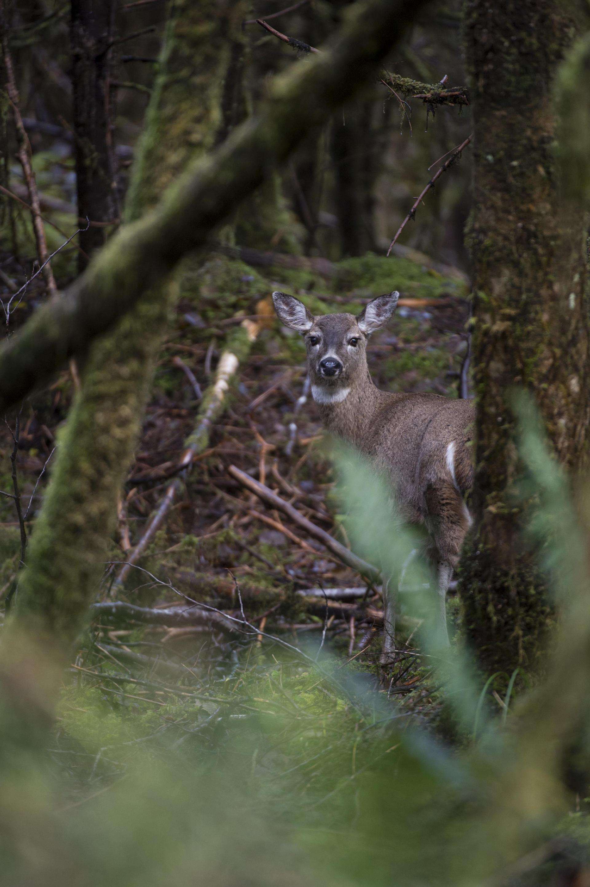 Sitka Blacktail