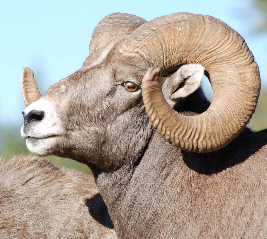 A Rocky Mountain bighorn sheep ram is a challenge worthy of any sheep hunter.