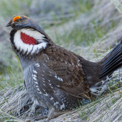 Blue Grouse, photo by iStock: In the spring breeding season, blue grouse males raise feathers on either side of their necks to expose a large halo of white feathers surrounding a brightly coloured bare neck patch.
