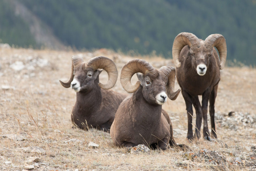 Male Big Horn Sheep (Ovis canadensis)