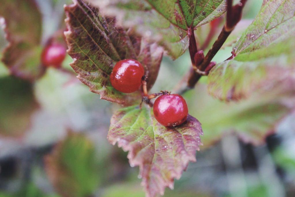 Highbush Cranberry. Viburnum edule.