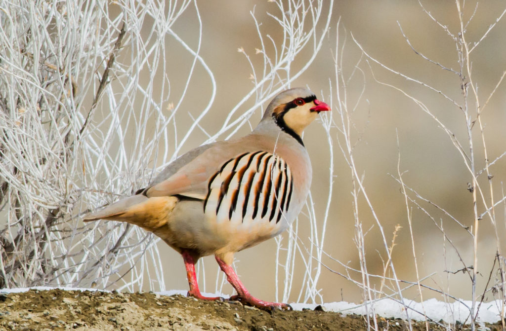 Chukar. Photo by Rick Howie.