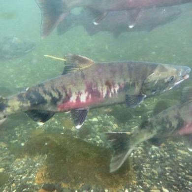 Chum salmon. Credit: iStock.