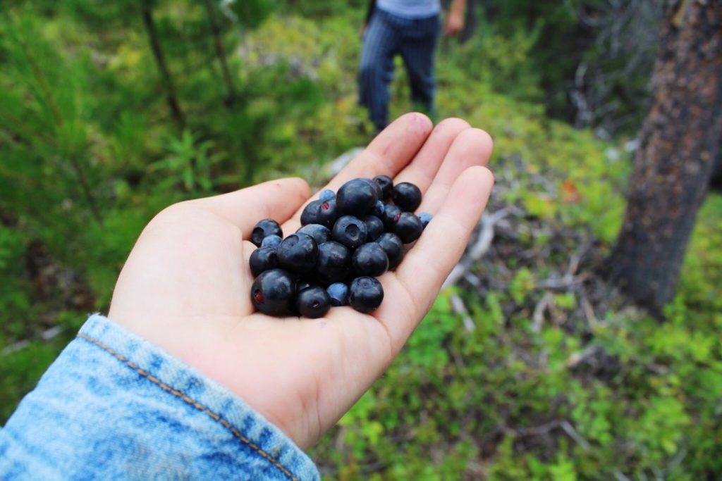 Using the least invasive method of harvesting (such as picking berries by hand), ensures that natural resources will be around for generations to come.