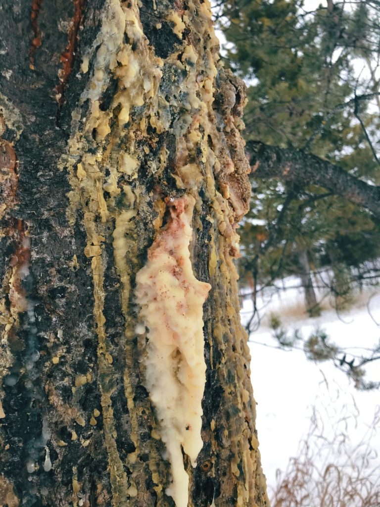 Pine resin is healing to the tree, so only take a small amount from each tree to limit your impact.