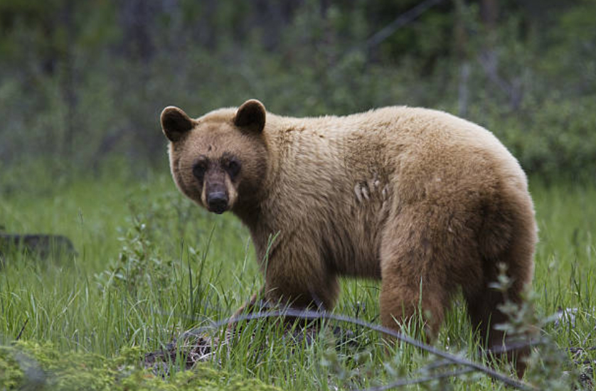 Some hunters may choose a unique, colour-phase bear over a large bear. When setting out on your hunting trip, decide what's most important to you.