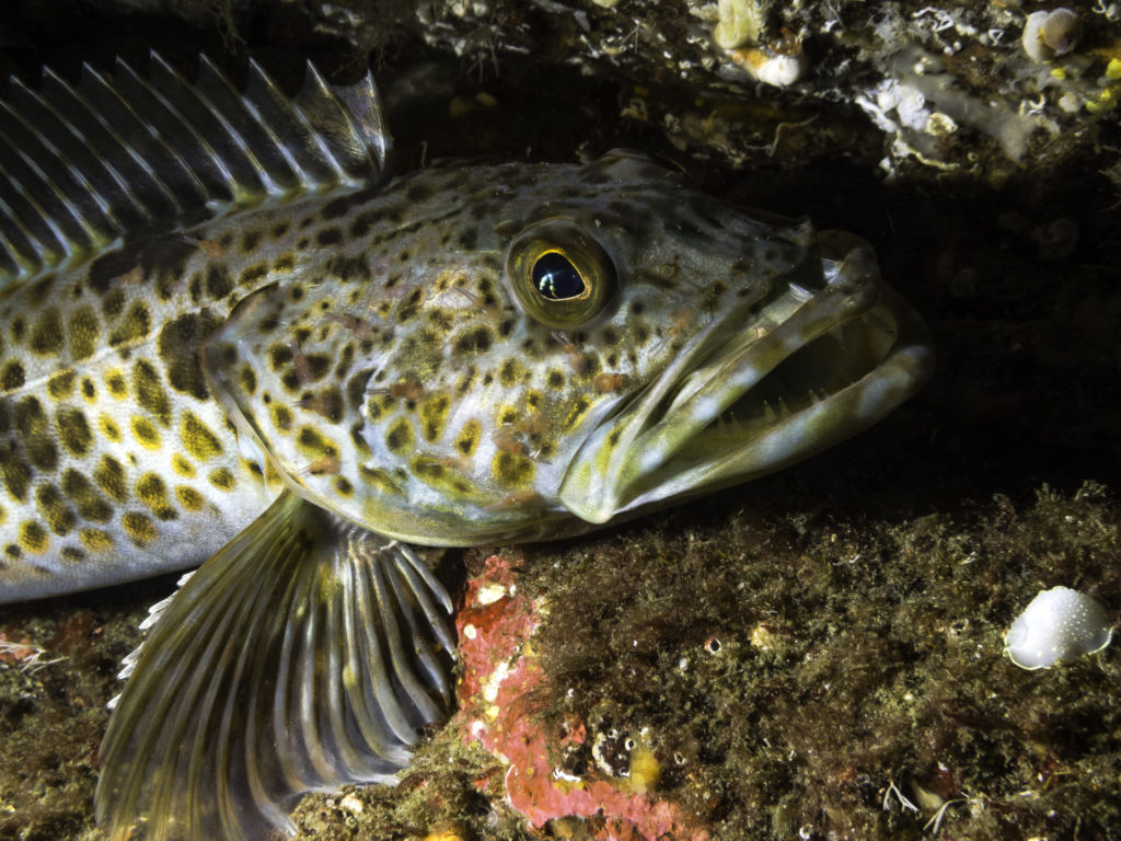 A juvenile lingcod. These fish live a long time and have low reproduction rates, so always fish using best conservation practices. Photo by iStock.