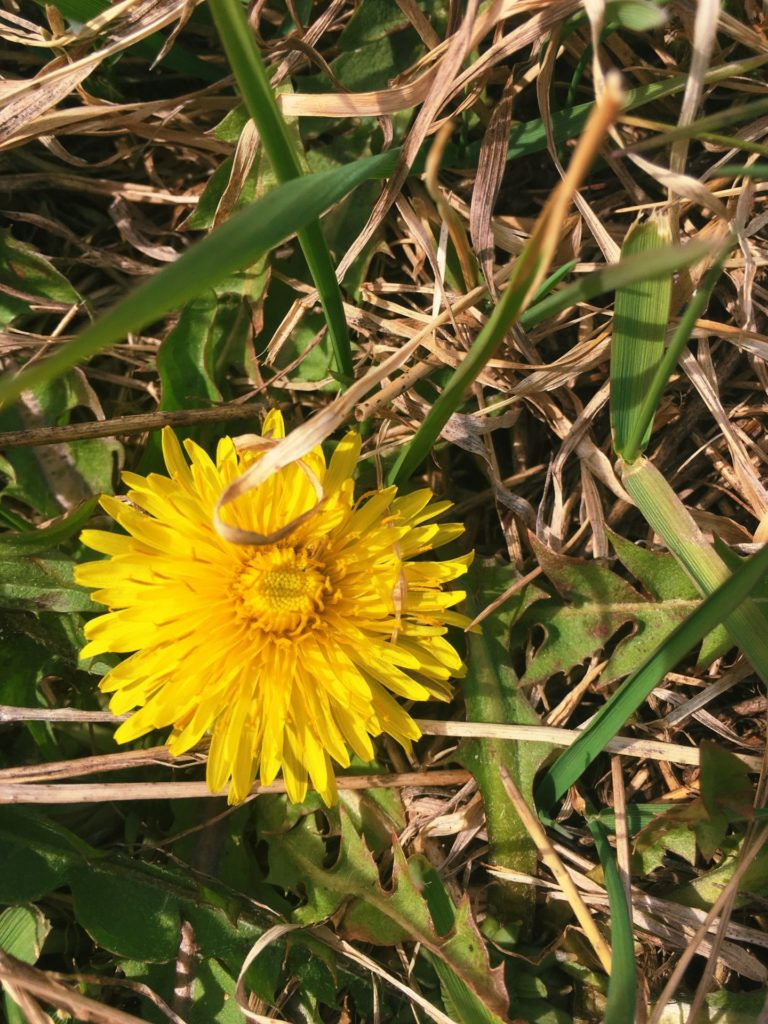 Dandelion Flowers (Taraxacum officinale).  Credit: Raeanne O'Meara.