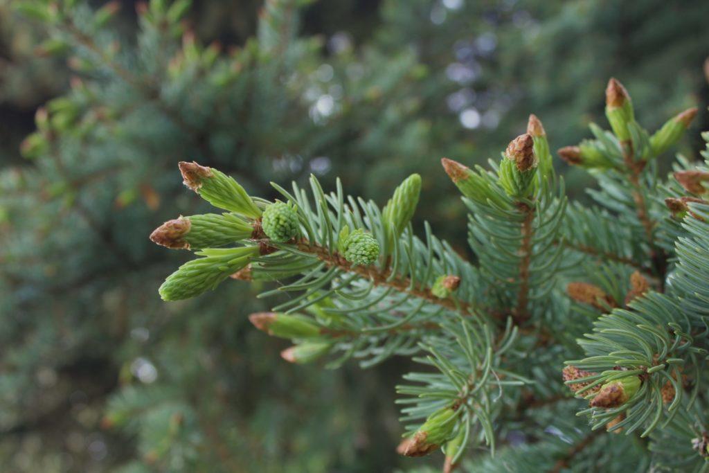 Spruce tips. Credit: Raeanne O'Meara.