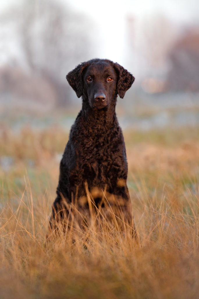 Curly-coated retriever.