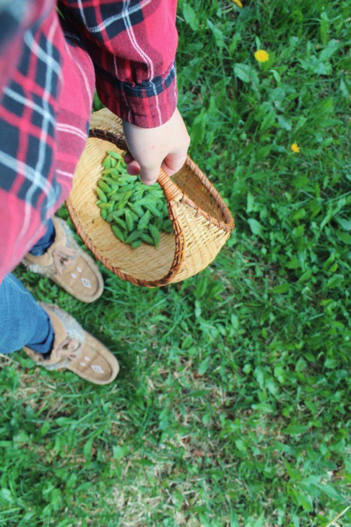 Basket of spruce tips. Credit: Raeanne O'Meara.