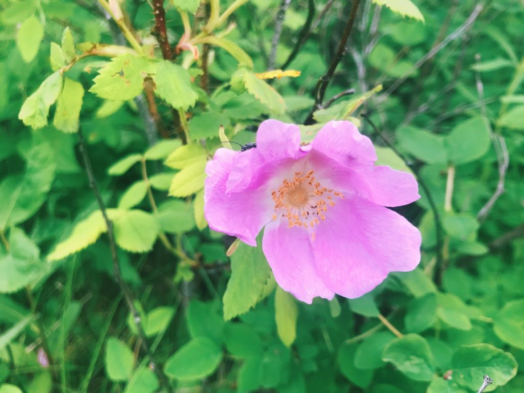 Prickly rose. Photo by Raeanne O'Meara.