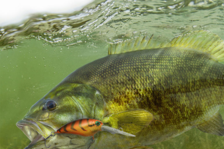 Smallmouth Bass. Photo by Zweizug/Dreamstime.com.