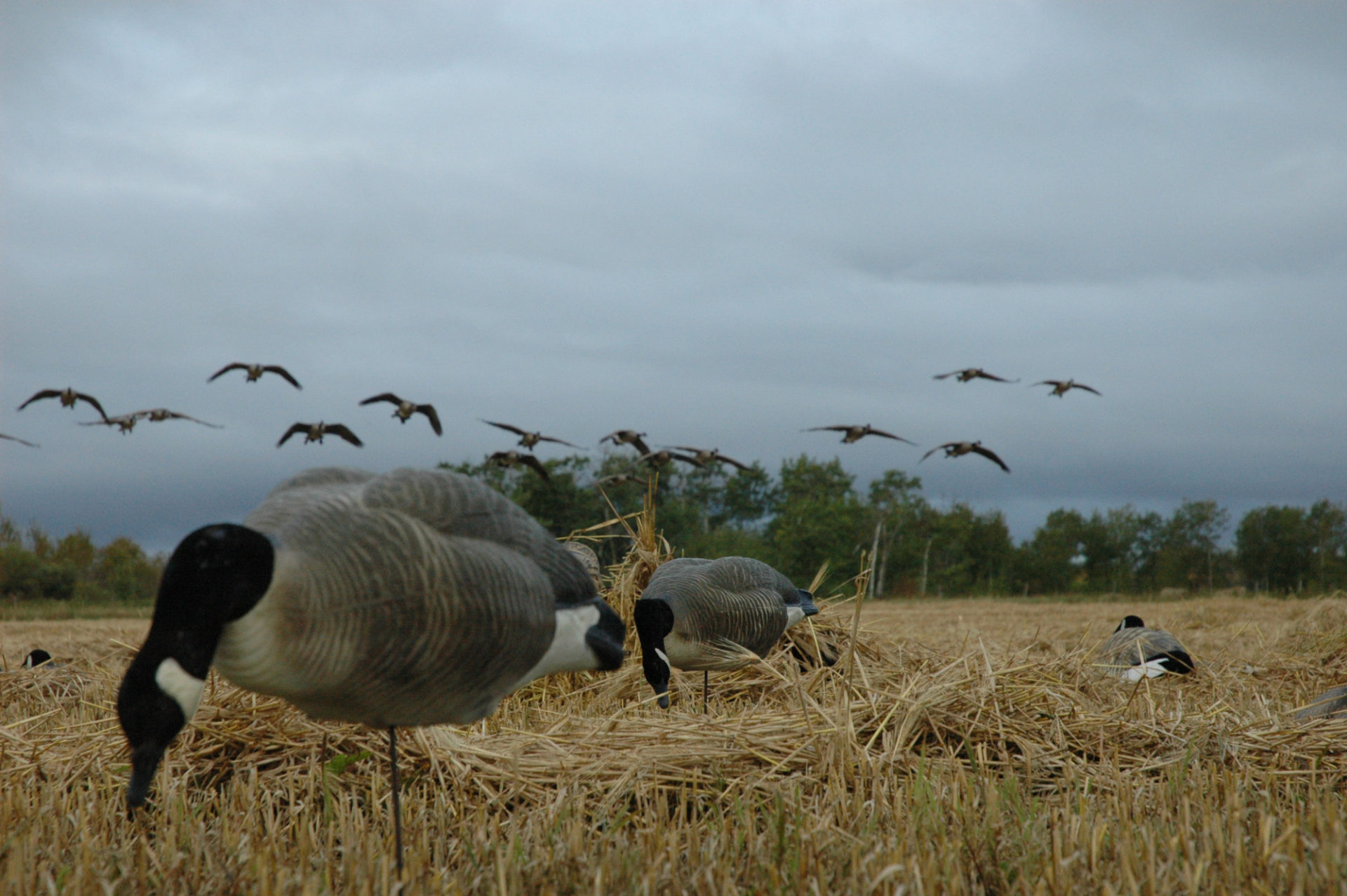 The Beretta A400 Xtreme Plus would be a perfect fit for this goose hunt.