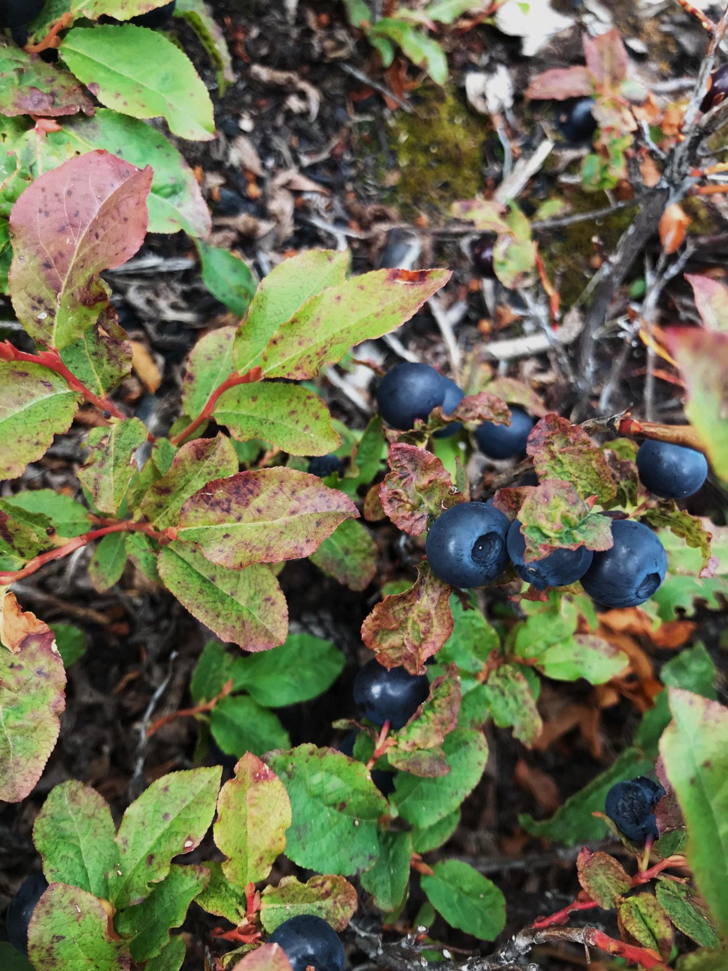 Black Huckleberry. Credit: Raeanne O'Meara.