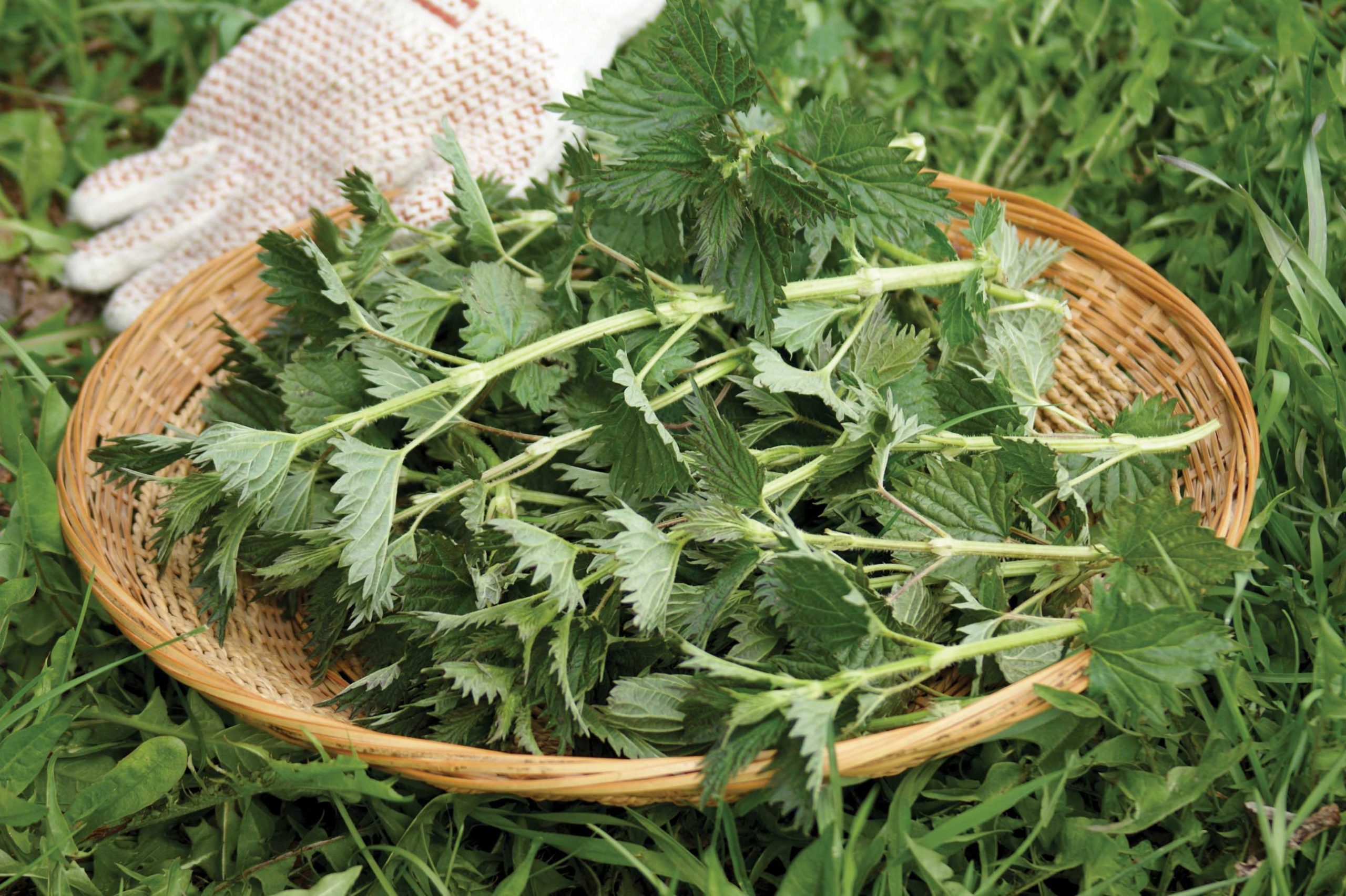 Stinging nettles can be steeped into tea or cooked as a potherb. Use them as a substitute for cooked spinach.