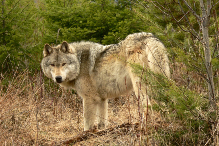 At one time, grey wolves were found in almost all habitats in North America, from dry grasslands to tidewater flats to alpine forests, and from Mexico to the Arctic circle. Photo by Dreamstime/Jason Cheever.