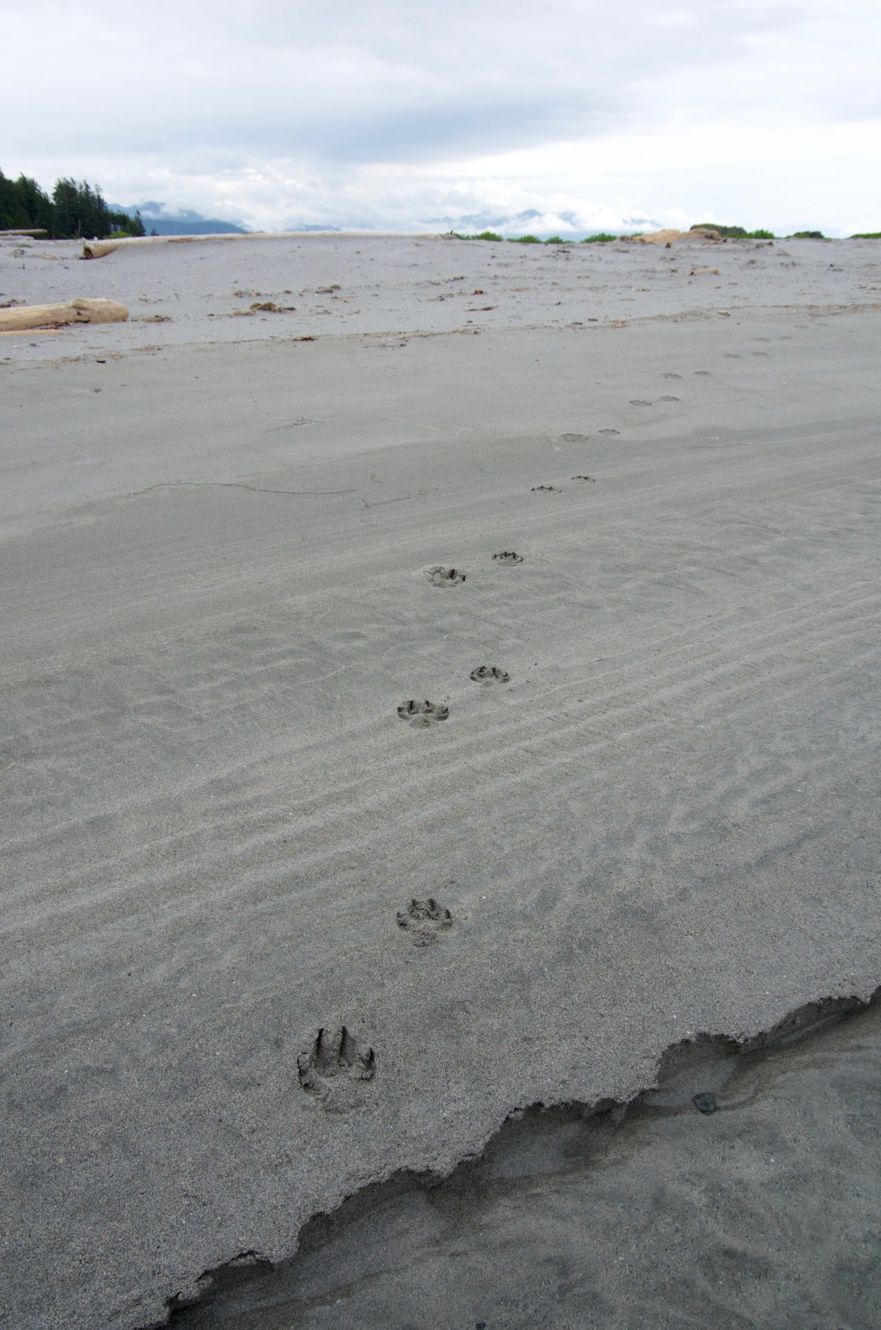 Coastal wolves are a distinct population found only along BC's coast. Photo by iStock.