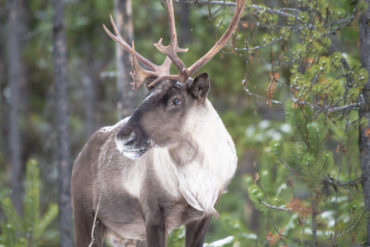 Woodland Caribou. Photo by Nick Trehearne.