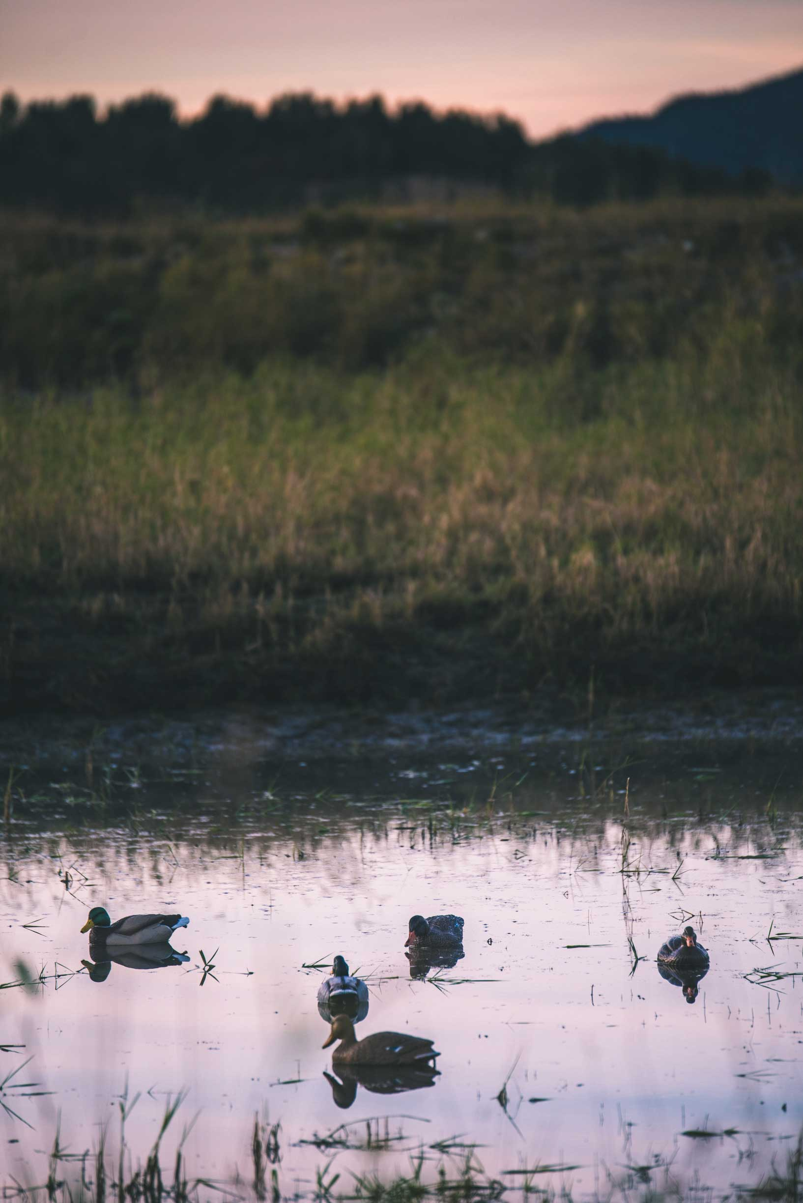 There is no shortage of places to hunt waterfowl in British Columbia. Most lakes, rivers and wetlands will hold ample numbers of birds. Pictured, a few decoys are set up to entice birds passing by. Photo by Curtis Hall.