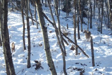 Deer approaching decoy. Photo by Gord Nuttall.