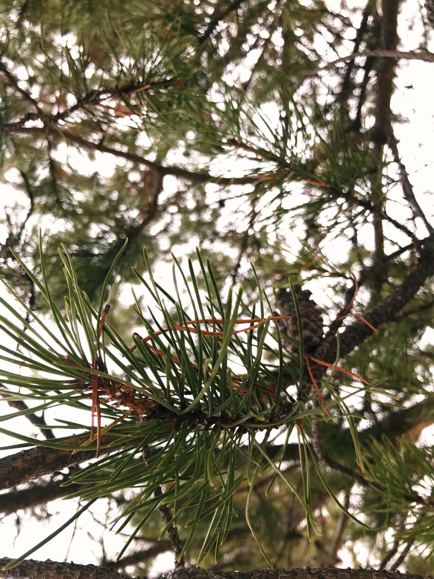 Pine. Credit: Raeanne O'Meara.