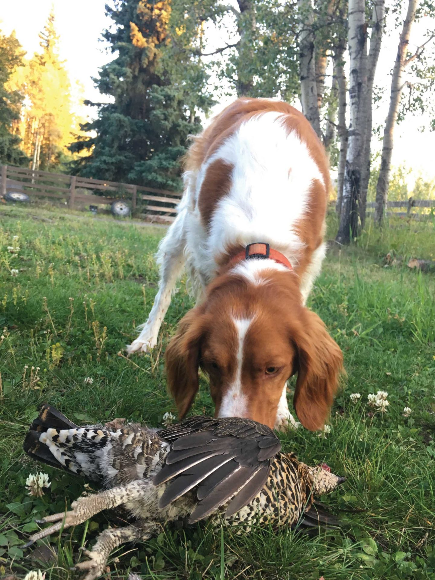 Brittanys are intelligent, well-rounded bird dogs.