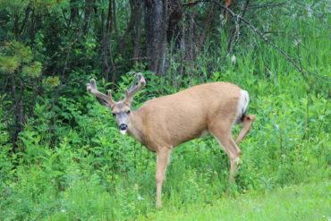 Deer. Credit: Raeanne O'Meara.