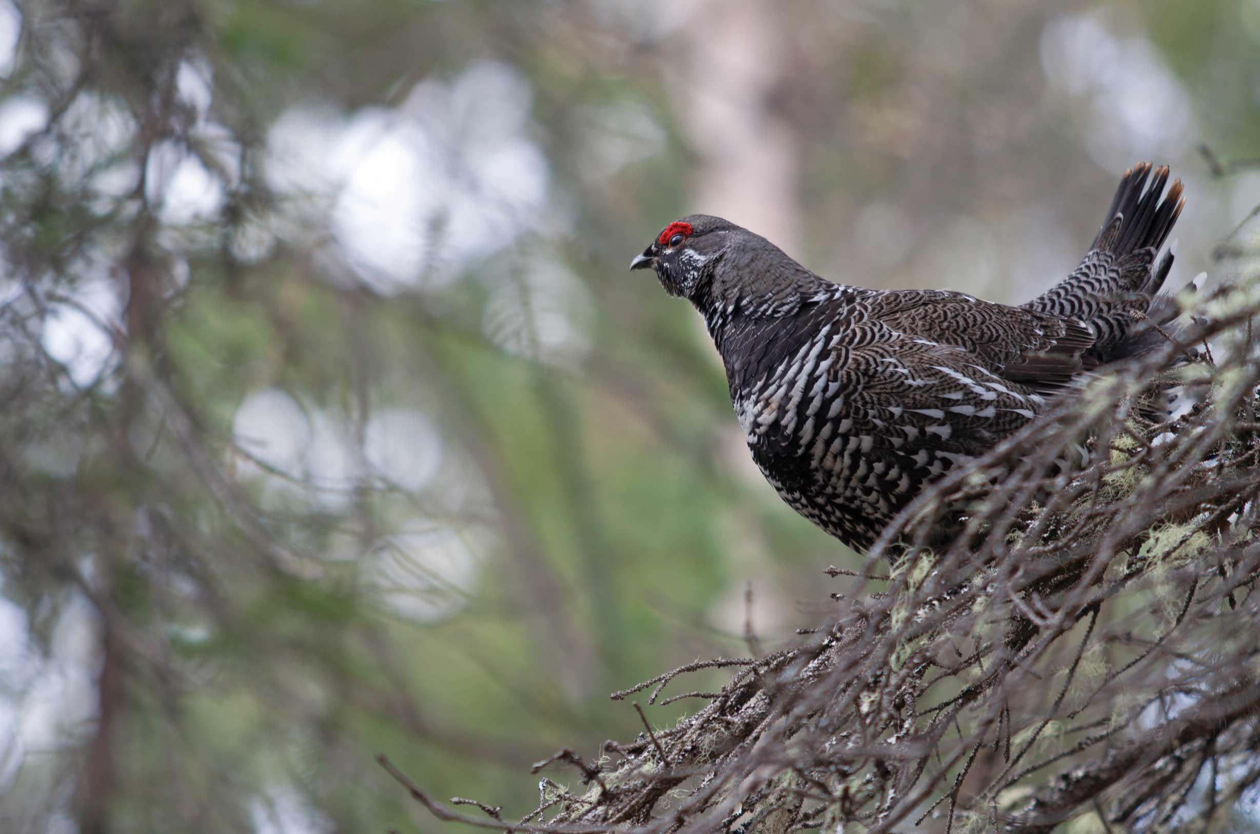 Spruce grouse males are easy to identify with their red eyebrow. Photo by iStock.