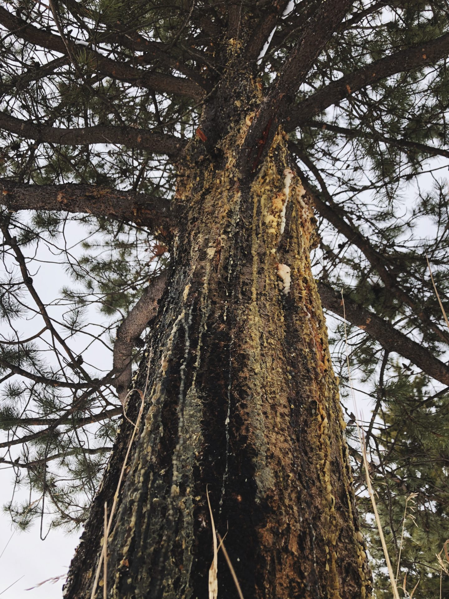 Lodgepole Pine. Credit: Raeanne O'Meara.