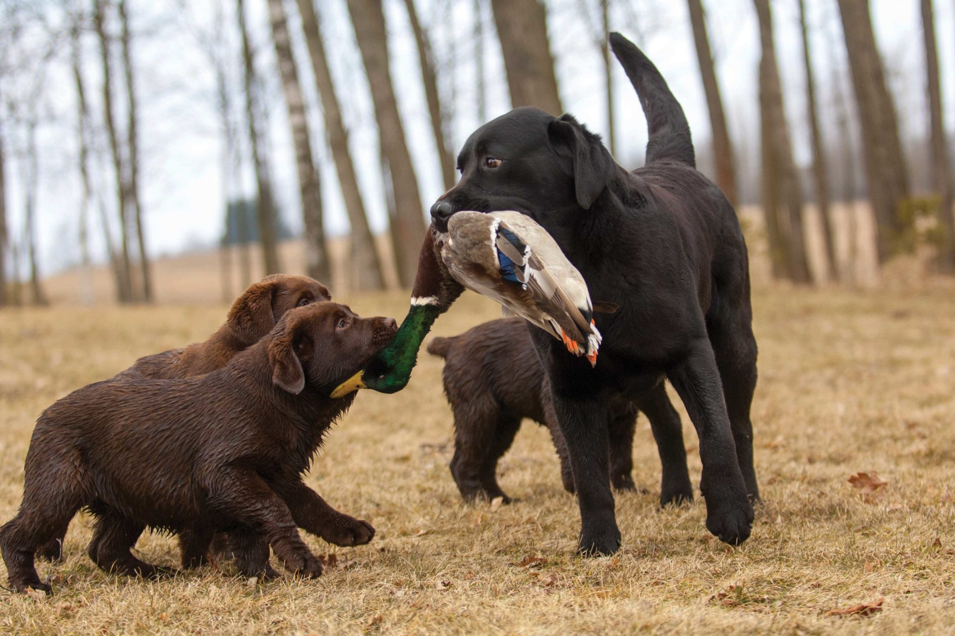 Look for the hunting characteristics and experience in the parents important to your hunting interests and settle on dogs known to produce good pups.
