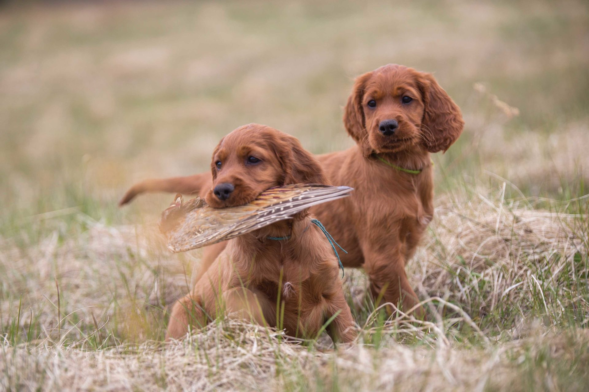 Choosing a breed that best suits your hunting purposes is the first step in picking your future hunting companion.