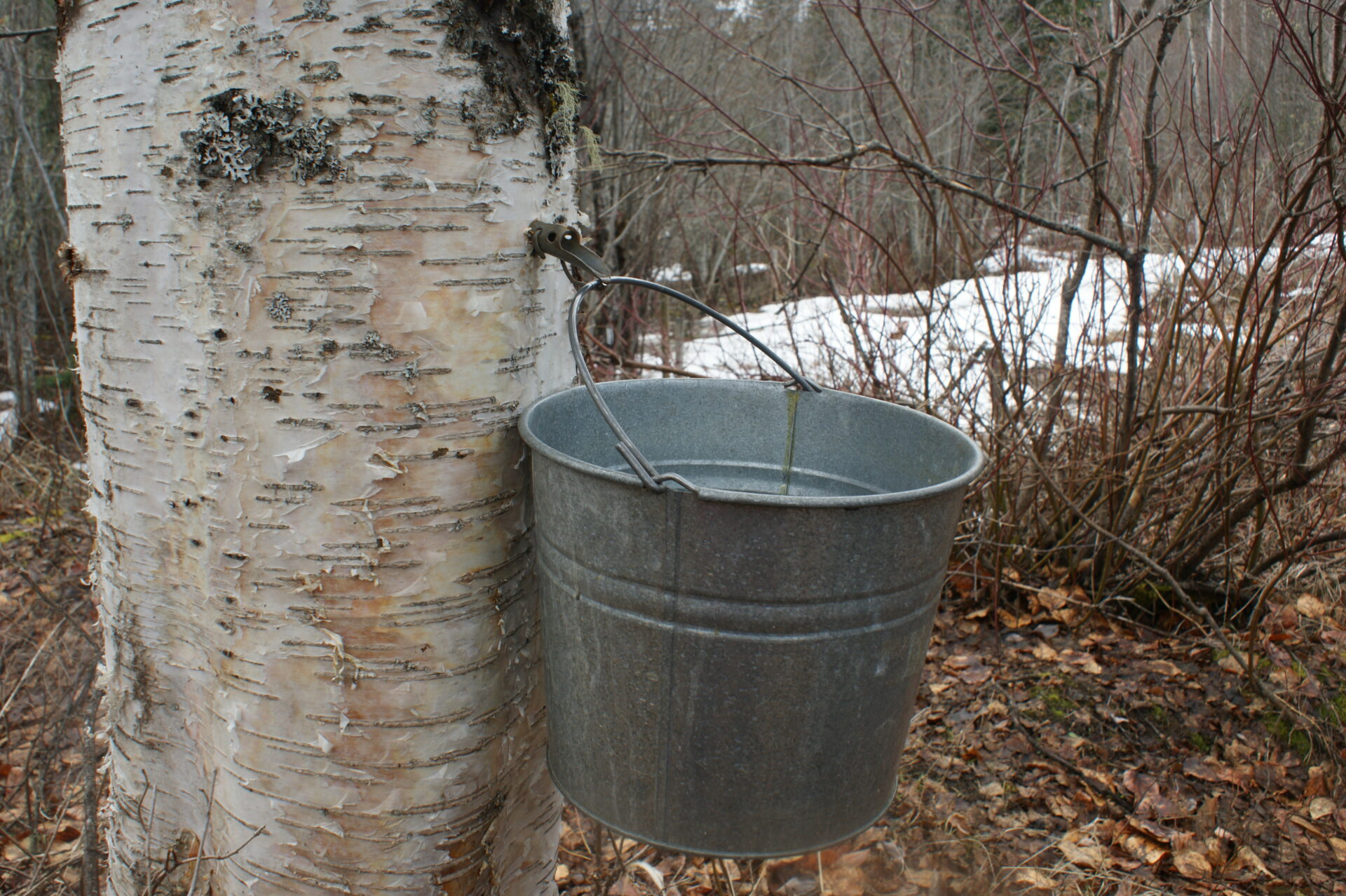 A pail is hung on the tapped birch tree, to collect the dripping sap.