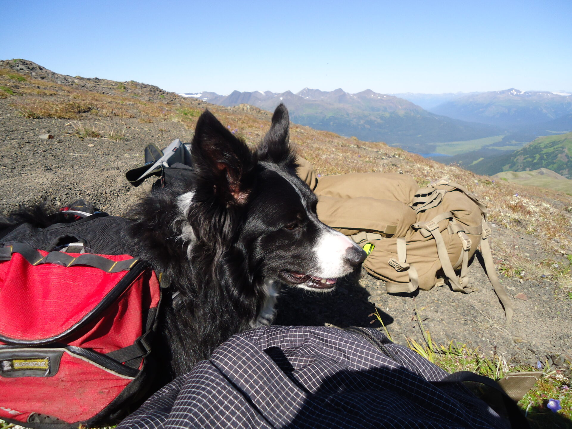 Dog tired on a BC goat hunt.