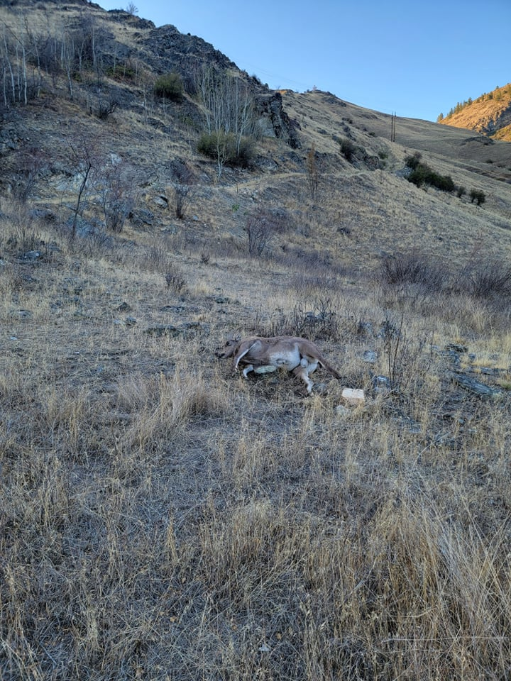 Death of sheep caused by disease. Credit: : Wild Sheep Society of BC.