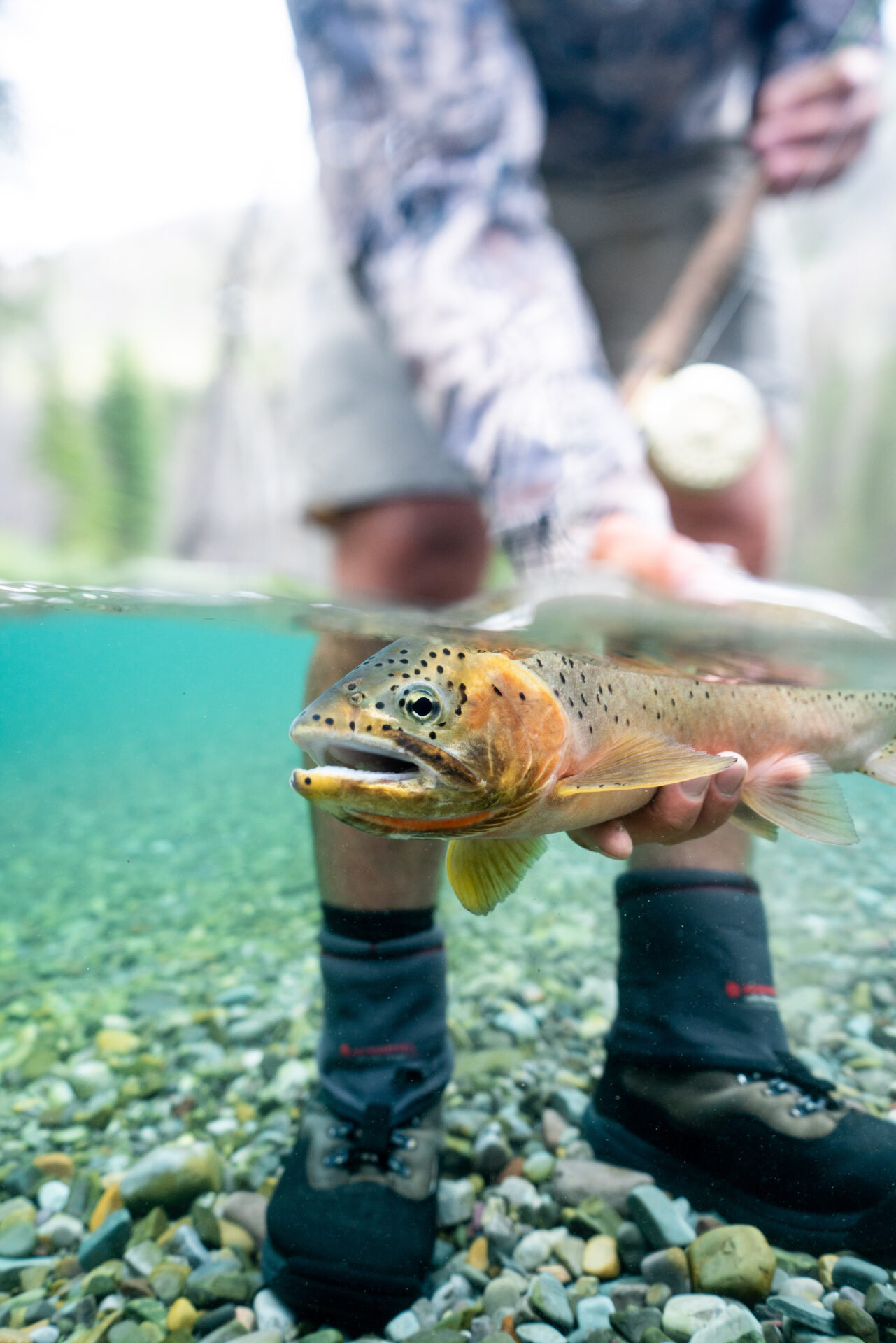 Cutthroat trout. Photo by Chase White.
